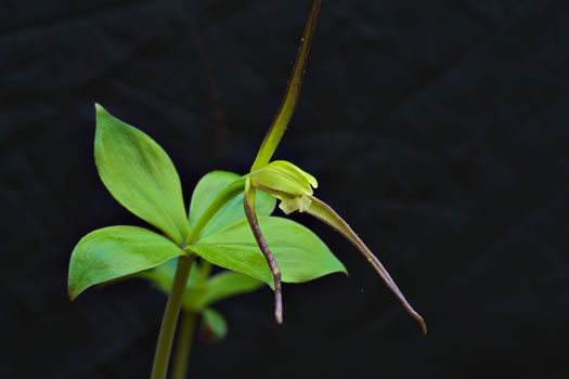 Isotria verticillata, Large Whorled Pogonia, Larger Five-leaves