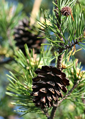fruit of Pinus virginiana, Virginia Pine, Scrub Pine, Jersey Pine