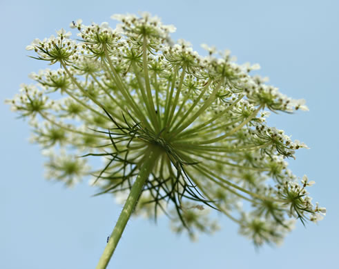filiform: Daucus carota, Queen Anne's Lace, Wild Carrot, Bird's Nest