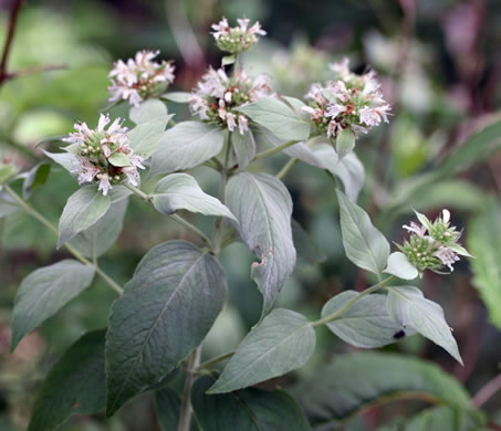 image of Pycnanthemum pycnanthemoides +, Woodland Mountain-mint