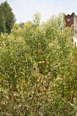 image of Baccharis halimifolia, Silverling, Groundsel Tree, Consumption Weed, Sea Myrtle