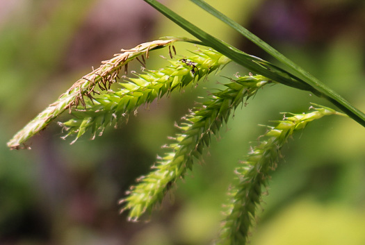 image of Carex prasina, Necklace Sedge, Drooping Sedge