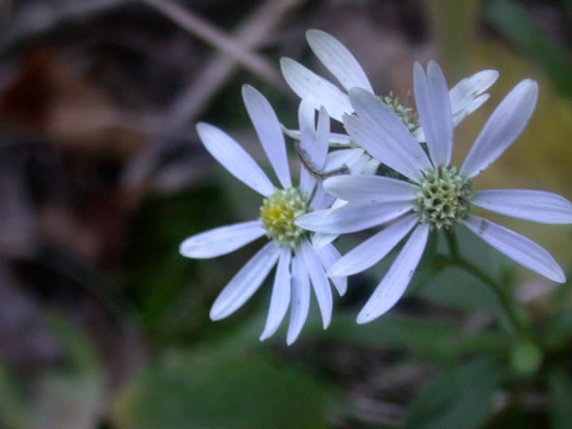 flower of Eurybia mirabilis, Piedmont Aster, Bouquet Aster