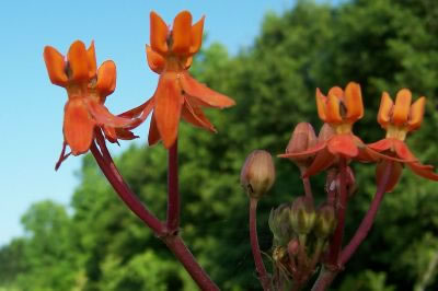 image of Asclepias lanceolata, Few-flower Milkweed, Red Milkweed