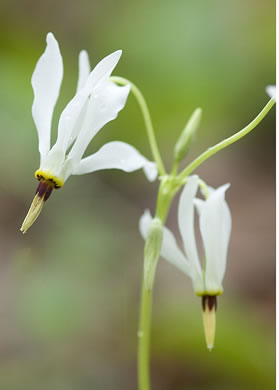 Eastern Shooting Star (Dodecatheon meadia)