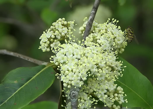 flower of Viburnum cassinoides, Northern Wild Raisin, Withe-rod, Shonny Haw, Shawnee Haw