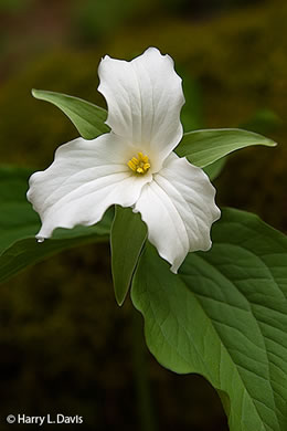 flower of Trillium grandiflorum, Large-flowered Trillium, White Wake-robin, Great White Trillium, Showy Wake-robin