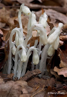flower of Monotropa uniflora, Indian Pipes, Ghost Flower