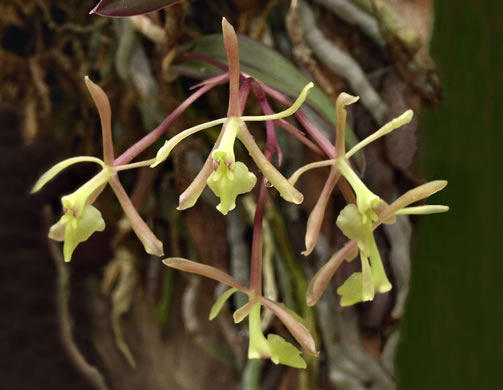 image of Epidendrum magnoliae, Green-fly Orchid