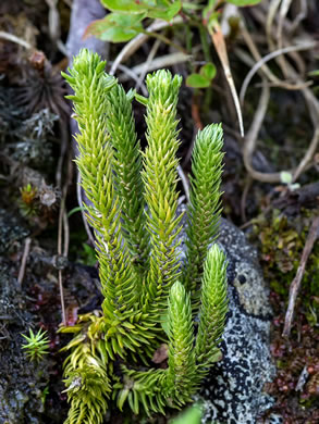 image of Huperzia appressa, Appalachian Firmoss, Appalachian Fir-clubmoss