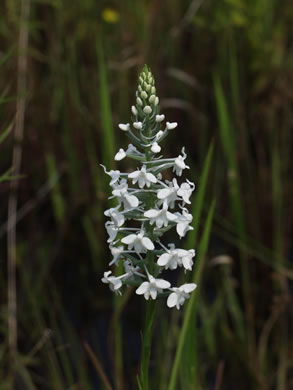 flower of Platanthera nivea, Snowy Orchid, Bog-spike