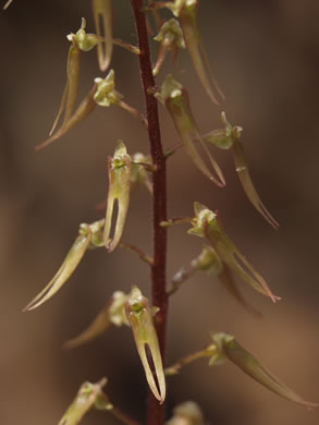 image of Listera australis, Southern Twayblade