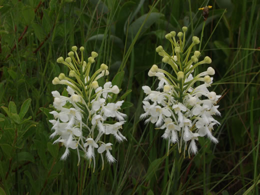 filiform: Platanthera conspicua, Large White Fringed Orchid, Southern White Fringed Orchid