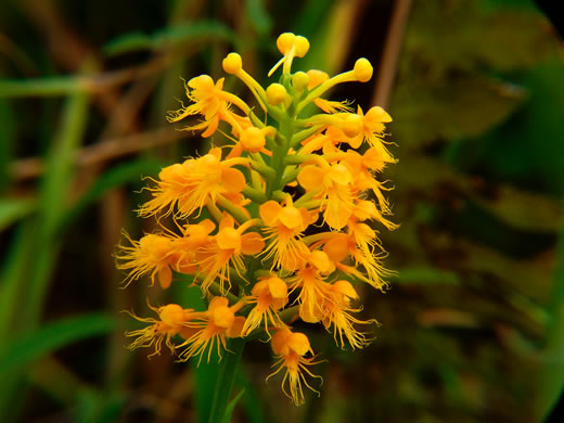 flower of Platanthera cristata, Crested Fringed Orchid, Golden Fringed Orchid