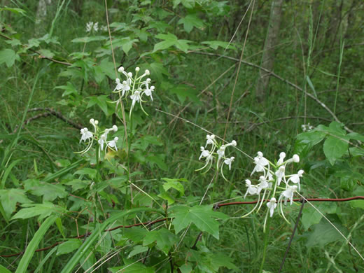 image of Platanthera integrilabia, Monkey-face Orchid, White Fringeless Orchid