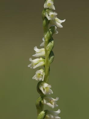 glabrous: Spiranthes floridana, Florida Ladies'-tresses