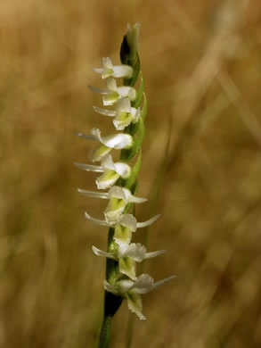 flower of Spiranthes longilabris, Long-lipped Ladies'-tresses, Giant Spiral Orchid