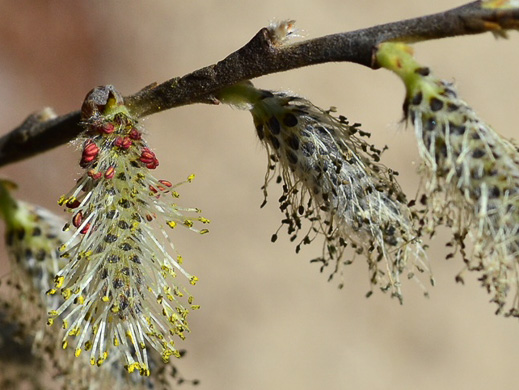 flower of Salix humilis, Prairie Willow, Upland Willow