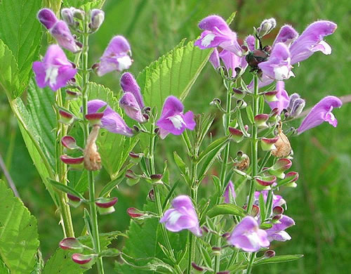 image of Scutellaria integrifolia