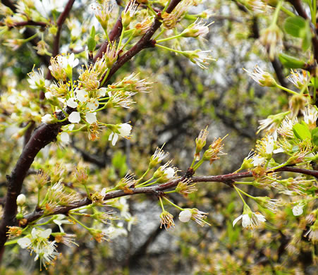 image of Prunus angustifolia, Chickasaw Plum