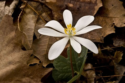 flower of Sanguinaria canadensis, Bloodroot, Red Puccoon