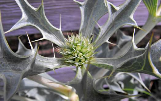 flower of Eryngium maritimum, Sea Holly, Seaside Eryngo