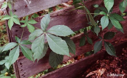 image of Parthenocissus quinquefolia, Virginia Creeper