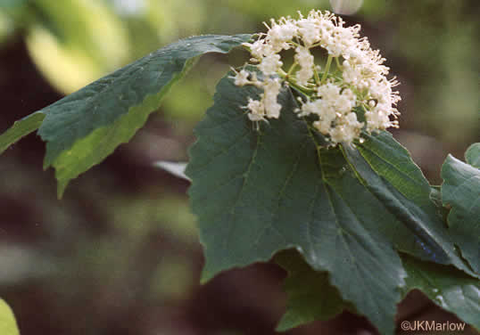 image of Viburnum acerifolium, Mapleleaf Viburnum, Maple-leaved Arrowwood, Dockmackie