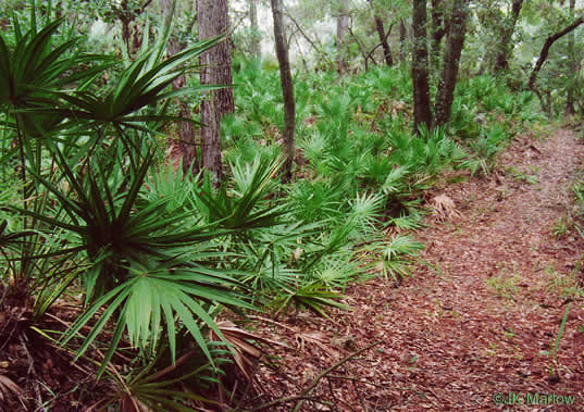 image of Serenoa repens, Saw Palmetto