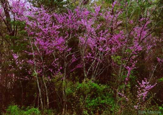 image of Cercis canadensis, Eastern Redbud, Judas Tree