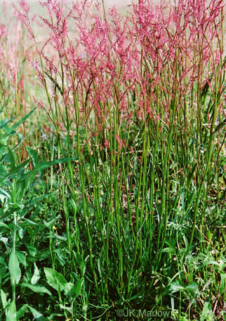 image of Rumex acetosella, Sheep Sorrel, Field Sorrel, Red Sorrel, Sourgrass