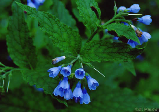 flower of Symphytum asperum, Prickly Comfrey