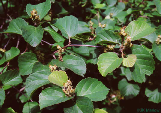 Fothergilla major, Large Witch-alder, Mountain Witch-alder, Fothergilla