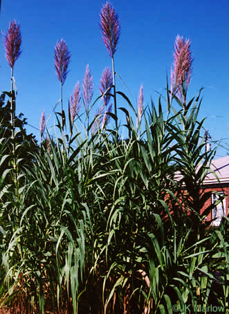 flower of Arundo donax, Giant Reed