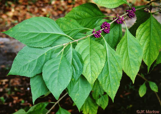 leaf or frond of Callicarpa americana, American Beautyberry, French Mulberry, Beautybush