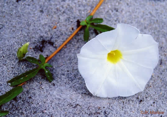 flower of Ipomoea imperati, Fiddle-leaf Morning Glory, Beach Morning Glory
