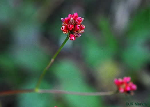 flower of Persicaria sagittata, Arrowleaf Tearthumb, Arrowvine