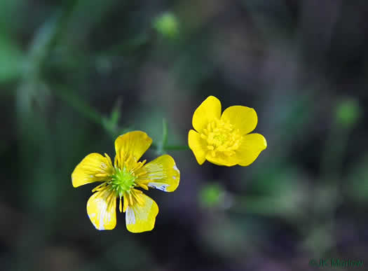 flower of Ranunculus/ Ficaria spp., Buttercup, Crowfoot, Spearwort