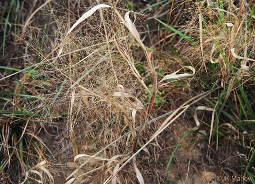 image of Panicum capillare, Witchgrass, Old-witch grass, Tumbleweed, Tickle Grass