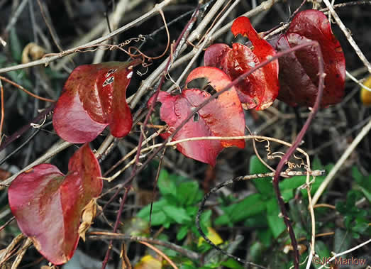thorns: Smilax glauca, Smilax glauca, Smilax glauca