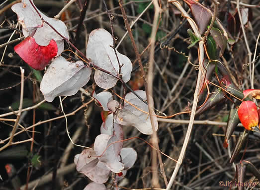 image of Smilax glauca