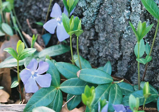 image of Vinca minor, Common Periwinkle