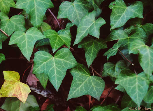 palmate: Hedera helix var. helix, English Ivy, Common Ivy