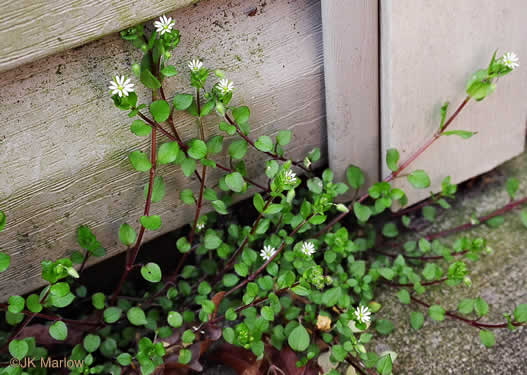 image of Stellaria media, Common Chickweed