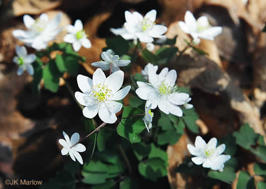 image of Thalictrum thalictroides, Windflower, Rue-anemone