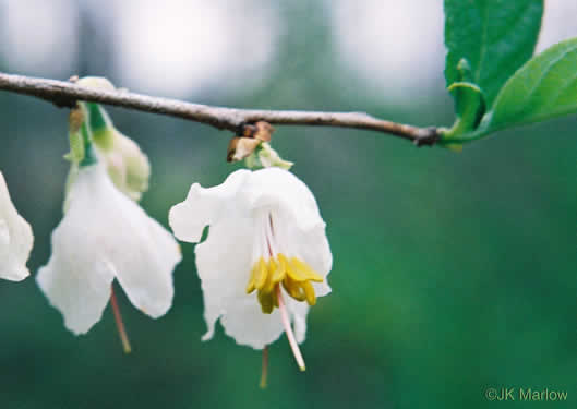 flower of Halesia carolina, Little Silverbell