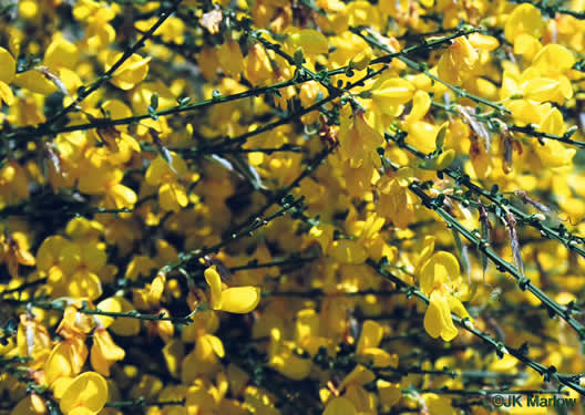 flower of Cytisus scoparius, Scotch Broom