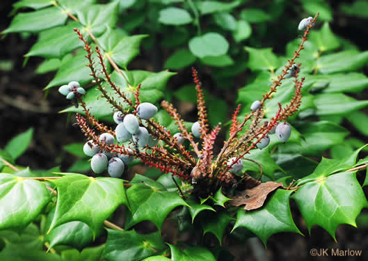 image of Mahonia bealei, Leatherleaf Mahonia, Chinese Mahonia, Holly-grape