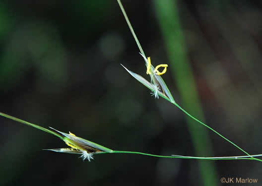 flower of Piptochaetium avenaceum, Green Needlegrass, Blackseed Needlegrass, Eastern Needlegrass, Black Oatgrass