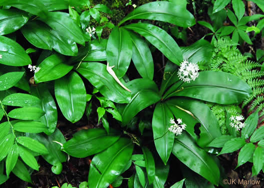 image of Clintonia umbellulata, Speckled Wood-lily, White Clintonia